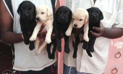 High breed labrador puppies for Sale in Thanjavur, Tamil Nadu