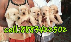 High breed pure orginal breed labrador male and female
