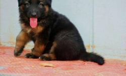 High quality german shepherd puppies, very active and