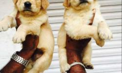 Direct import Blood line Show quality Golden RETRIEVER