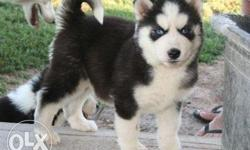 Hi Siberian husky puppies Direct imported champion