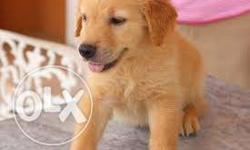 humanity kennel;- golden retreiver fully vaccination