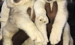 husky puppies with kci certificate dark blue eyes