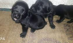 I want to sell my female lab pyuupy the pyuupy is 1