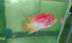 imported albino golden base flowerhorn fish