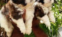 Imported and top quality shihtzu pups r available for