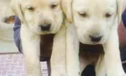 We have very Gud quality Labrador puppies available for