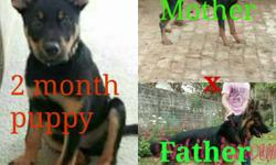 jermanshefard and doberman mix pupy 3 month vacinated