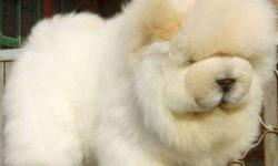 Call Me Now, KCI+ Approved Chow Chow Puppies Available
