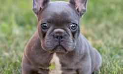 Call Me Now, KCI+ Approved French Bull Dog Puppies