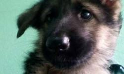 Kci Registered Gsd Female And male Pups For Sale Father