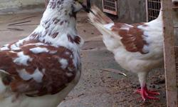 King Pigeons (Breeding Pair - Red & White colour)
