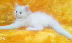 very active Healthy and pure Persian kittens cash on