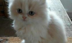 Best quality in your city Persian kitten sell cash on