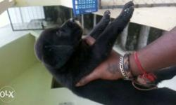 Lab female heavy bone puppies available cal me.