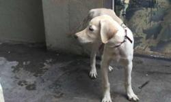 lab female single bone breed of sale for 1000rs I am
