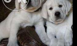 } Lab puppies available Heavy Bone male 12500 female