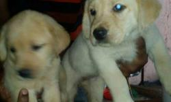lab puppy male and female available 5500
