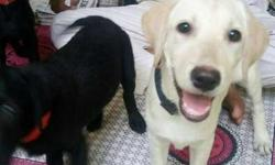 labara dog male and female just rs 5000/each