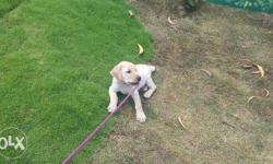 Laborder retriver puppy 2 months old male exchNge with
