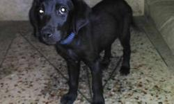 Labrador black female puppy available...pure breed...