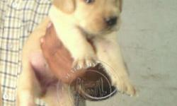 Labrador Breed Puppies Make My Pet� Presenting Show
