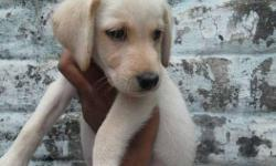 labrador fawn colour male puppy
