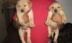 labrador golden female show quality for sale watsupp