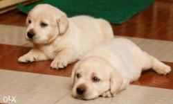 We have Beautiful labrador Puppies For Sale Only 8 Male