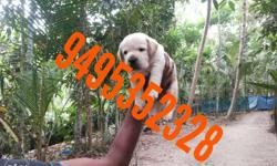 Labrador puppies available very good quality different