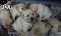 Labrador puppies for sale in bhilai on ready stock and