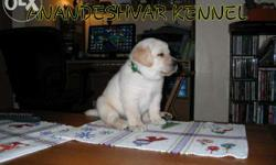 Show quality KCI labrador pupps paperµchip avails...