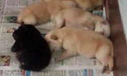 Labrador pupps avails... Pur quality speaks itself. A