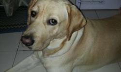 Any female lab for mating? Dibrugarh