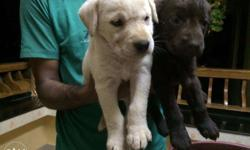 40 days old good quality Labrador Retriever Puppies.