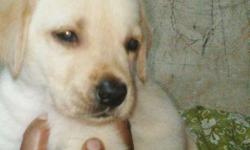 Labrador retriever puppies for sale call me