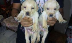 labrador retriver puppy for sale... puppy r 24 days old