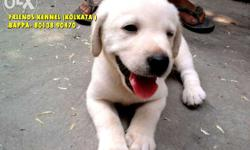 Labrador puppies for sale Rs. 12.500 Quality grantee