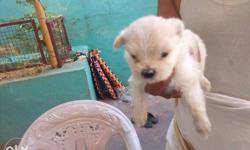 Lasapso puppy male pure white available