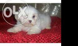 top quality lashaapso puppies sales in low price