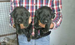 Lebra pup male femail sale