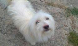 Lhasa apso female dog.. available.. 1 year old..very