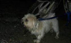 Lhasa male dog 1 year 3 months old