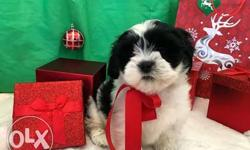 Lhasa male puppy very healthy active and pure breed to