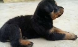 33 days old champion blood Rottweiler puppy for sale