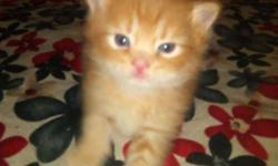 male and female Persian kitten for sale