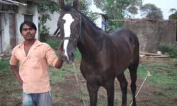 hello friends, this is marwari colt Ruaab,very good