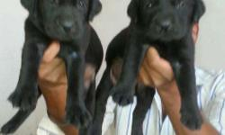 Massive size Labrador puppy 35days ready for sale