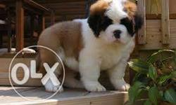 MAX KENNEL So sweet n very very active puppy st bernard