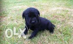 MAX KENNEL Top Quality z Black lab male only stud not